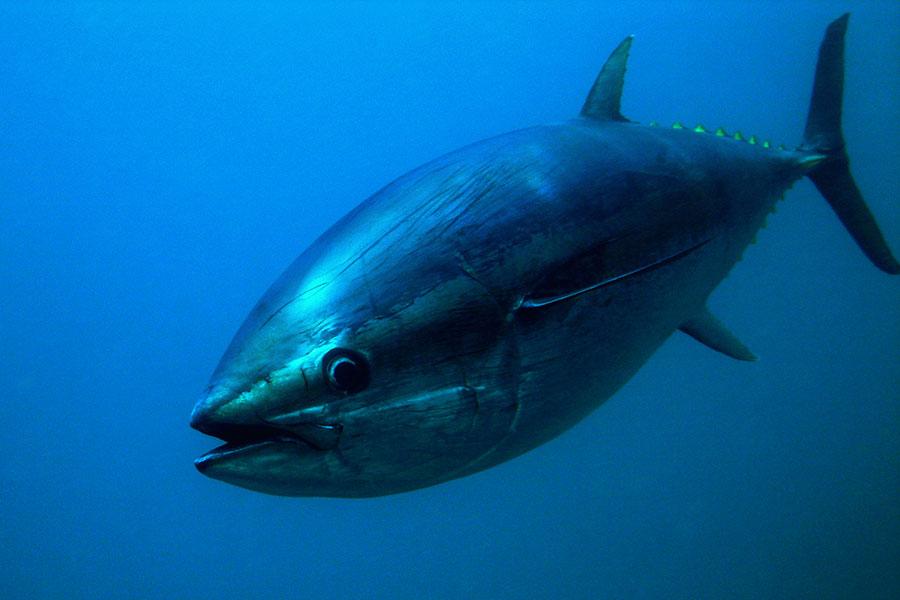 atún rojo de almadraba